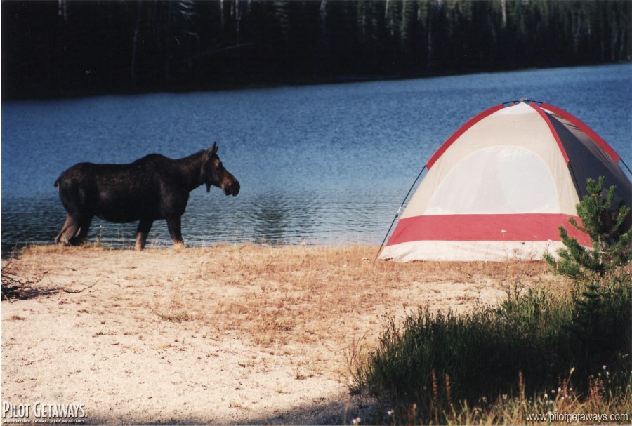Moose at our campsite at Fish Lake