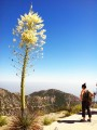 Mount Disappointment Yucca Tree
